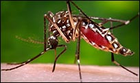 A picture of the Aedes mosquito that can transmit the Zika virus.