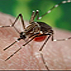 A female Aedes aegypti mosquito in the process of acquiring a blood meal from her human host.